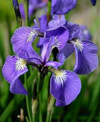 Iris Orris Blossom Pure Absolute Essential Oil 100ml Free Carrier Oil 10ml Ebay In 2020 Iris Flowers Beautiful Flowers Rare Flowers