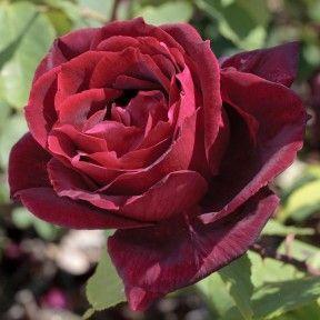 Rosa Rampicante Yves Piaget Keitsupiatsu Chelsea Flower Show