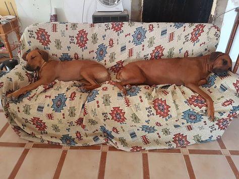 dogsofinstagram #rhodesianridgeback #odefix...