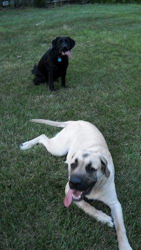 Read The Webpage Click The Link For Even More Details Purebred Labrador Retriever Black Labrador Dog Breeds Labrador