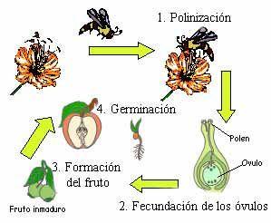 La Germinacion Plantas Polinizacion De Las Plantas Reproduccion De Plantas Clasificacion De Las Plantas
