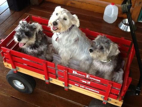 Schnauzer Paradise Breeders In Grantsville Wv Soo Cute With