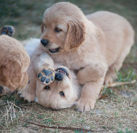 Dog Miraculously Loses 100 Pounds Retriever Puppy Golden Retriever Cute Puppies