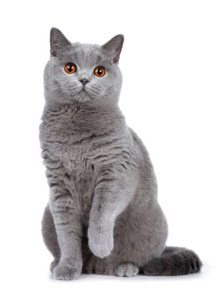 Royalty Free British Shorthair Cat Pictures Images And
