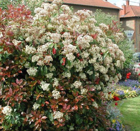Glogownik Zimozielony Camilvy Photinia Fraseri C3 40 60cm Future Gardens Plants Red 60th