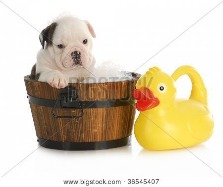 Puppy Bath Time English Bulldog Puppy In Wooden Wash Basin With