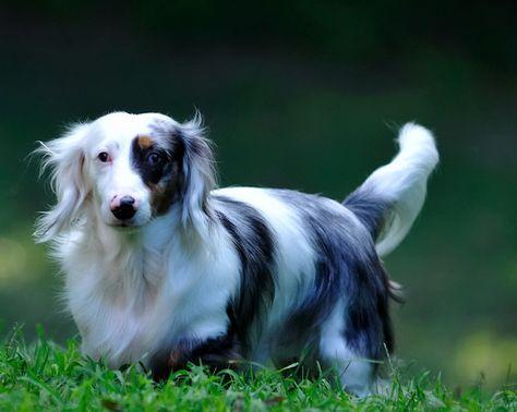 Dapple Long Haired Dachshund Dapple Dachshund Dachshund Puppies