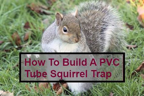 How To Build A Simple Pvc Tube Homemade Squirrel Trap Pvc Tube Squirrel Hunting Squirrel