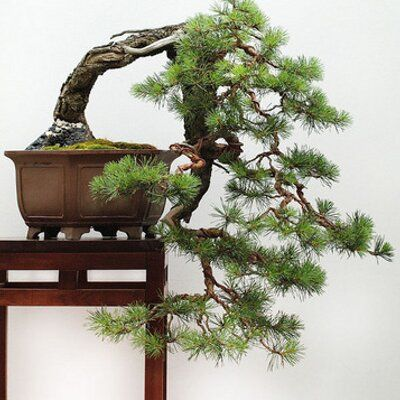 Irun Bonsai Bonsai Plants Garden