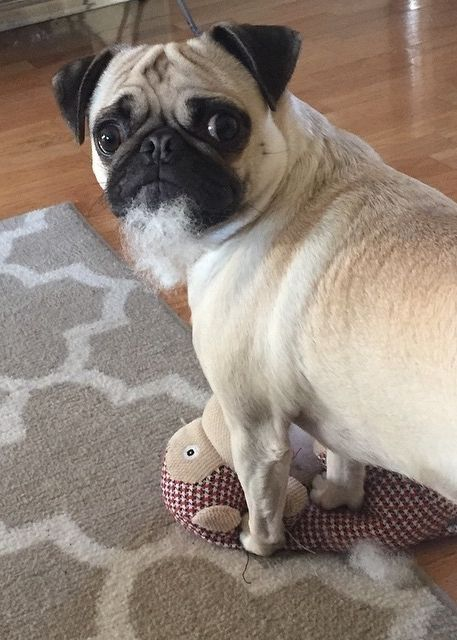 There S No Evidence I Destroyed My Toy Pug Pugs Funny Cute
