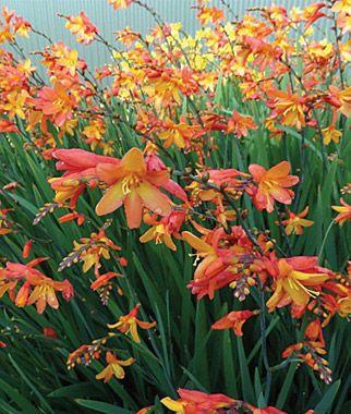 Crocosmia Orange Pekoe With Images Flowers Perennials Plants