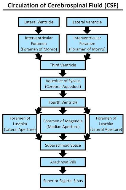 circulation of cerebrospinal fluid csf internalize medicine | fiziological  | cerebrospinal fluid, brain anatomy, brain system