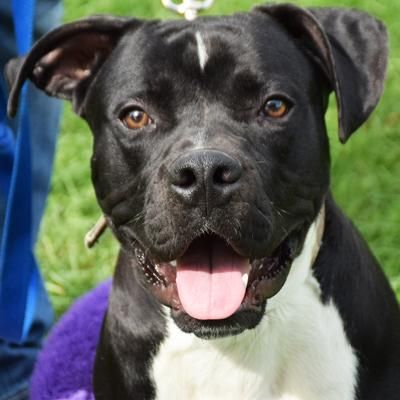 Adopt Tux On Dog Adoption American Staffordshire Terrier