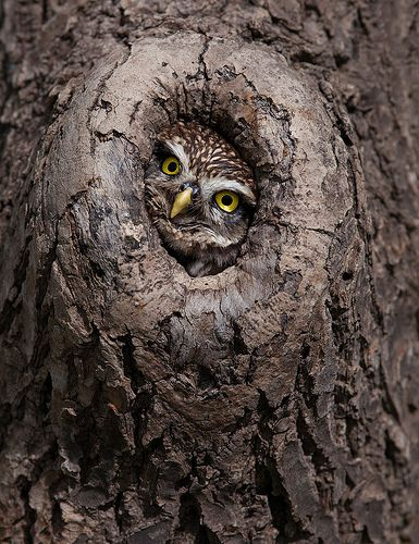 ~~Peek-a-boo ~ little owl keeping watch by Billy Currie~~ awwww how cuuuuute! Beautiful Owl, Animals Beautiful, Beautiful Pictures, Baby Owls, Cute Baby Animals, Owl Bird, Pet Birds, Owl Photos, Little Owl