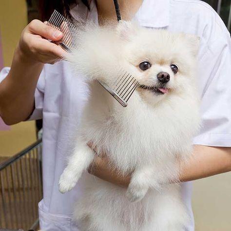Resultado de imagen para Pomeranian spa  pinterest