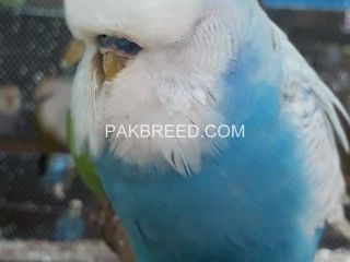 For Sale On Pakbreed Com Buy Pets Bird Photography Beautiful Birds