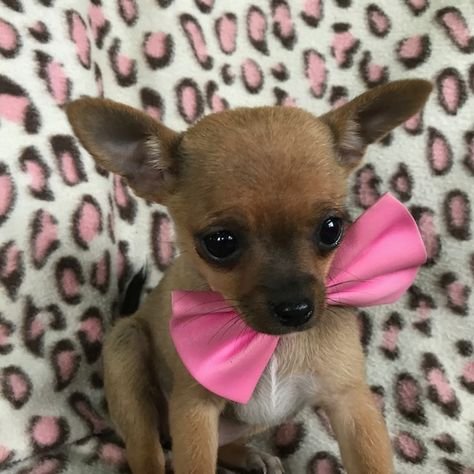 Chihuahua Puppy For Sale In Honey Brook Pa Adn 66109 On