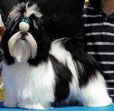 Black And White With Blue Bow Shihtzudog Shih Tzu Dogs Shih