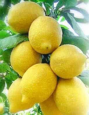 Fiori Giallo Verdognoli A Grappolo.Grappolo Limoni Limone Ricette Limoncello
