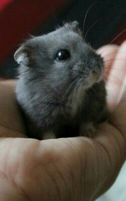 Blueberry Dwarf Hamster  Love it when a hamster nuzzles your