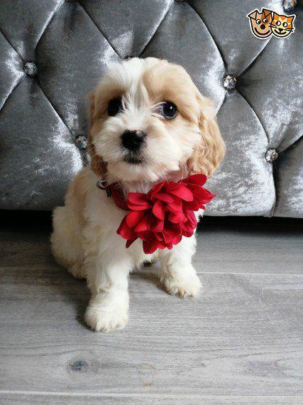 Stunning Cavapoochon Puppies Durham County Durham Pets4homes Cavachon Puppies Dogs And Puppies Cavachon