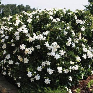 Double Mint Gardenia Bloom Start To End Mid Summer Early Fall