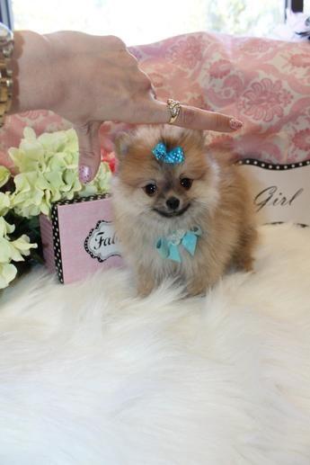 Yorkiebabies Com Elegant Pomeranians In Florida Pomeranian Puppy For Sale Pomeranian Puppy Puppies For Sale