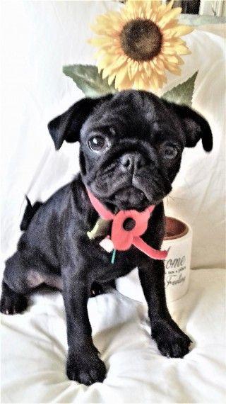 K C Registered Stunning Pure Black Pug Puppies Pug Puppies