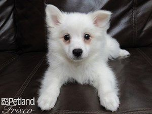 Dogs Puppies For Sale Petland Frisco Texas Pet Store In 2020 Puppies For Sale Puppies Dogs And Puppies