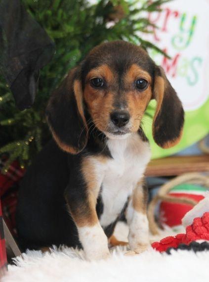 Harley Beagle Puppy 574007 Puppyspot Beagle Puppy