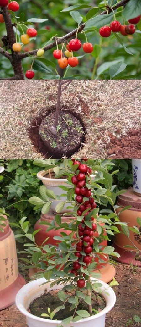 How To Grow Brazilian Cherry Trees In Your Garden How Grow Cherry Garden Cherry Tree Brazilian Cherry Fruit Trees