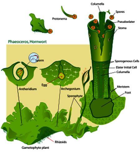Antoceros Ciclos De Vida Plantinhas Pequenas Biologia