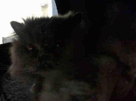 Persian Adult Female Medium W Pa Humane Society Pittsburgh Pa More About Chloe Pet Id A180234 Spayed Neutered Pet Id Animal Help Humane Society