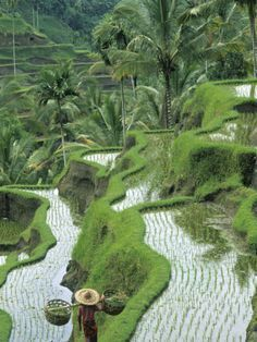 Rice Fields, Central Bali, Indonesia by Peter Adams #balitravel