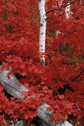 An Autumn Time Rocky Mountain Maple-Gorgeous Foliage