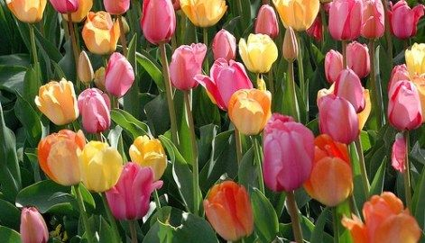 How To Get Your Tulips To Come Back Each Year Planting Tulips Growing Tulips Tulips Garden