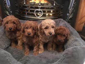 Amazing F1b Cockapoos In Doncaster Dogsandpuppies Co Uk