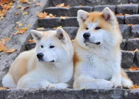 Pin By Berensaat On Dog Japanese Akita Akita Japanese Dogs