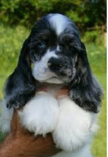 Blue Merle Cocker Spaniel Cocker Spaniel Puppies Dog Breeds Dogs