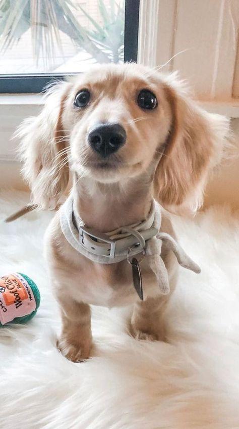 Dog Breeds Names .Dog Breeds Names Dapple Dachshund, Long Haired Dachshund, Dachshund Puppies, Weenie Dogs, Cute Dogs And Puppies, Cutest Dogs, Long Hair Daschund, Doggies, Funny Dachshund