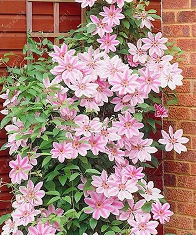 100pcs/bag Clematis seeds flower clematis vines bonsai flower seeds