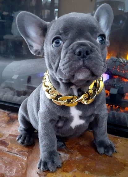 Blue Sky French Bulldog Puppy French Bulldog Puppies Bulldog