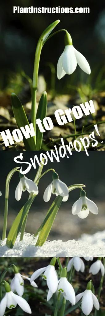 How To Grow Snowdrops Snowdrop Plant Growing Bulbs Spring Flowers Photography