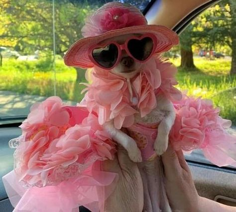 Chihuahua is one of the most stylish breeds. If in doubt which one to choose, then take pink. Cute Animal Memes, Animal Jokes, Cute Memes, Cute Animal Pictures, Cute Funny Animals, Funny Dogs, Cute Chihuahua, Chihuahua Puppies, Cute Puppies
