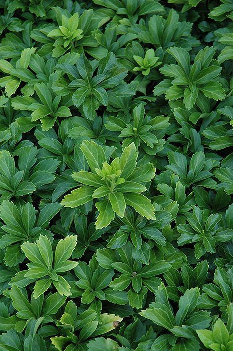 Green Sheen Japanese Spurge Pachysandra Terminalis Green Sheen At Schulte S Greenhouse Nursery Ground Cover Plants Shade Garden Shade Shrubs