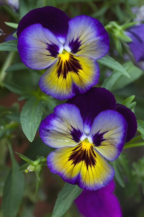 Pansies - Me N You Art Print by James Roemmling.