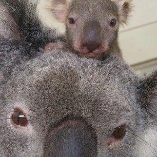 This Mother S Day Koala Selfie This Mother S Day Koala Selfie The 30 Cutest Animals In Australia Ranked From Australien Tiere Koala Niedliche Tierbabys