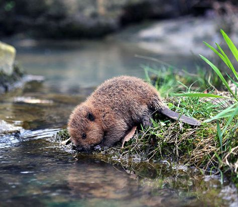 Incredibly cute baby-beaver just came to drink a water :3 - more at megacutie.co.uk
