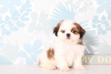 Puppies For Sale In Florida And Nationwide Shih Tzu Puppy