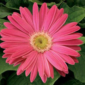 Gerbera Ezdazy Pink Buy Gerbera Daisy Annuals Online Gerbera Jamesonii Plants Gerbera